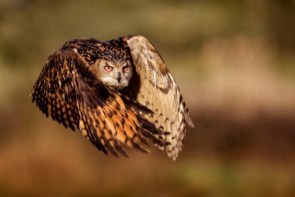 Eagle Owl by bridge99