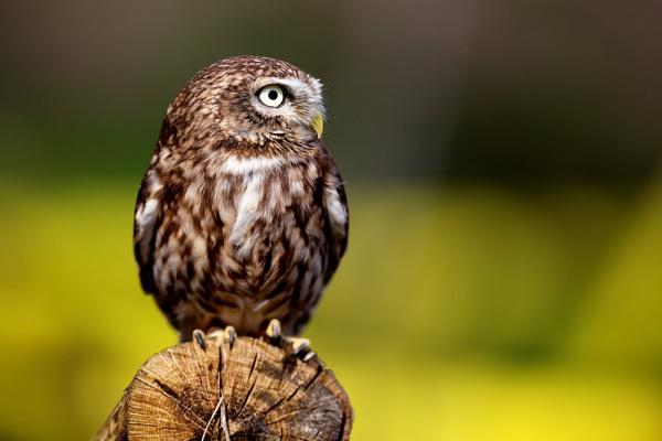 Little Owl on a log by bridge99