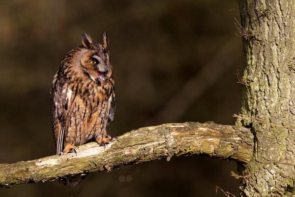 A Long-eared owl by bridge99