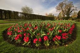 Wisley Primula's & Tulip buds