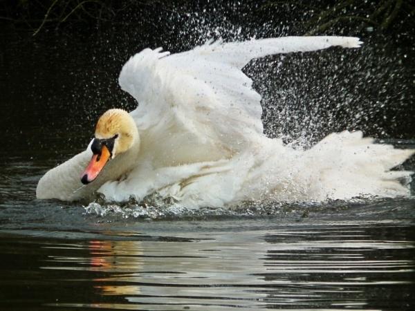 Swan having a good wash by simon73