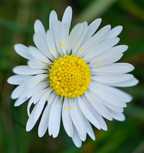 Daisy by Gemma9