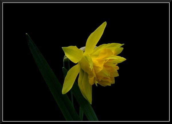 Narcisse by izida