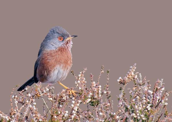 Dartford Warbler by NigelKiteley