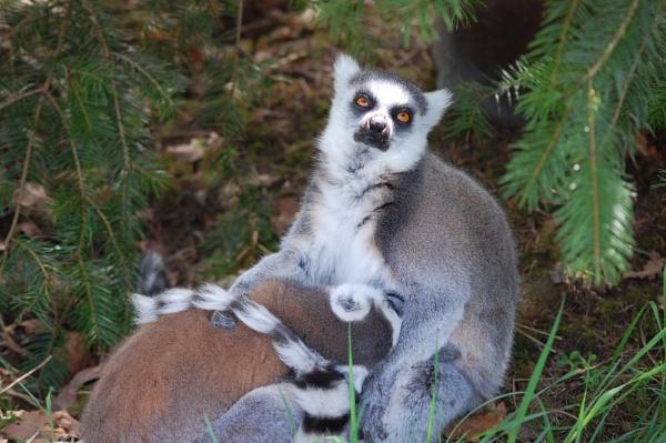 ring tailed lemur nursing her young by linda68