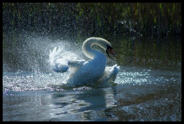 splashy swan by alianar