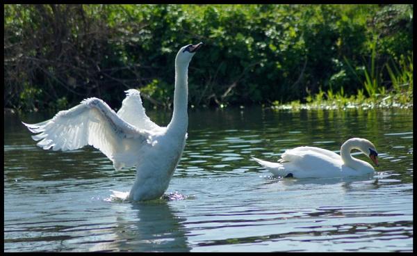 swan #2 by alianar