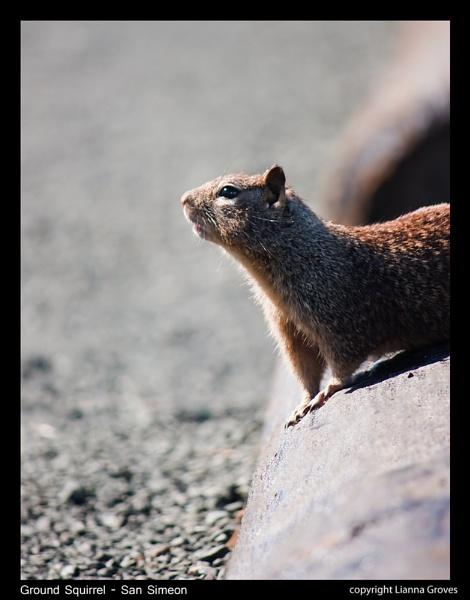 Ground Squirrel by lianna