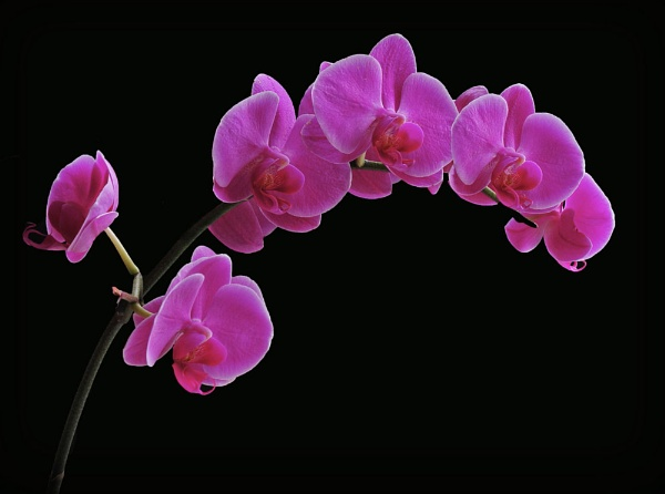 """Pink Orchid\"" by RonnieAG"