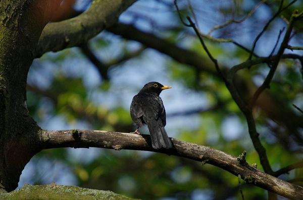 Blackbird (Turdus merula) by saltholme