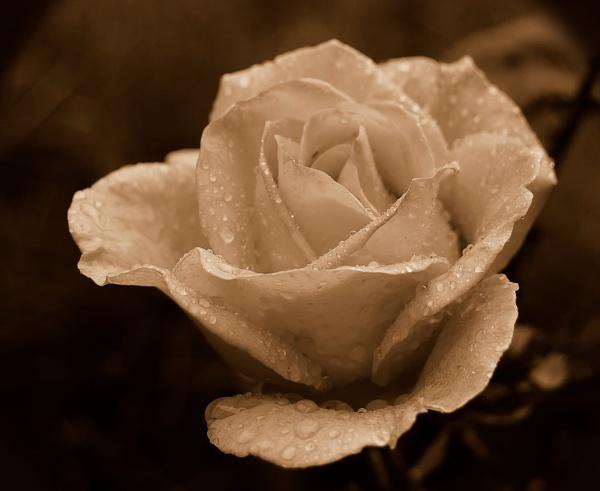 Rose in the Rain by MelanieB