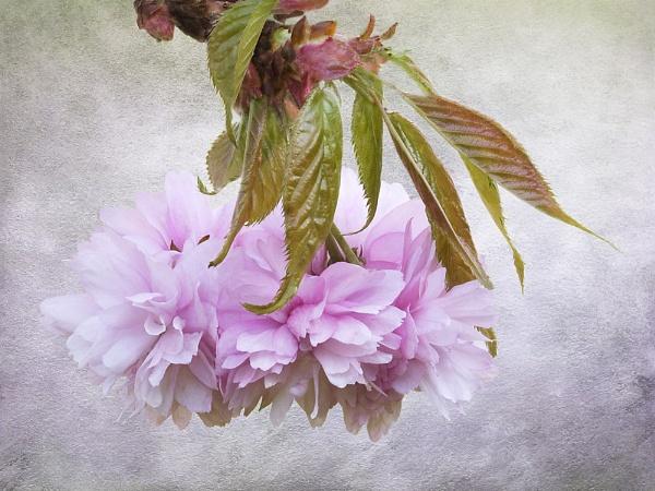 Prunus blossom by dormay