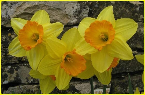 Brockhampton Daffodils by Glostopcat