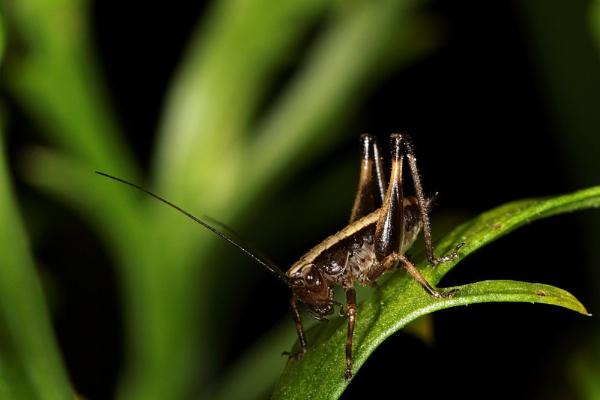 Brown bush cricket by dentex