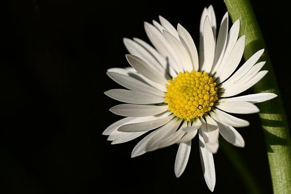 Daisy by dentex