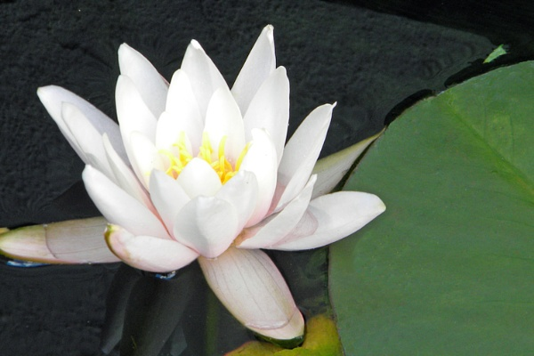 Water Lily by twinkle62