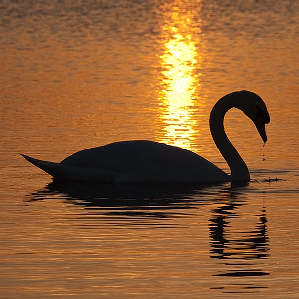 Swan sunset by Rich3344