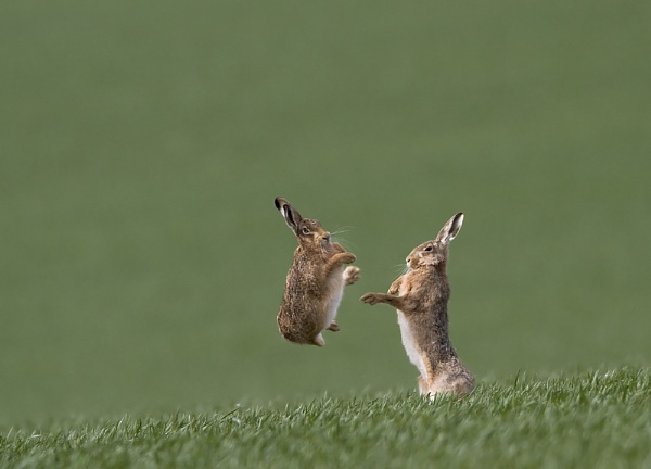 Boxing Brown Hares by rmccombe