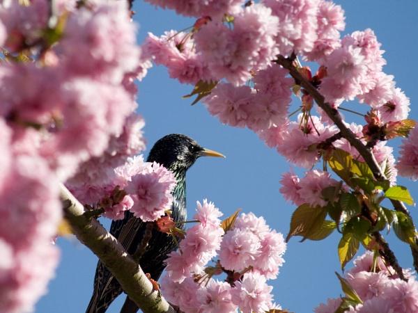 Starling in Cherry Blossom by nbatchford