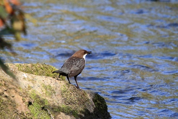 Dipper by piccy