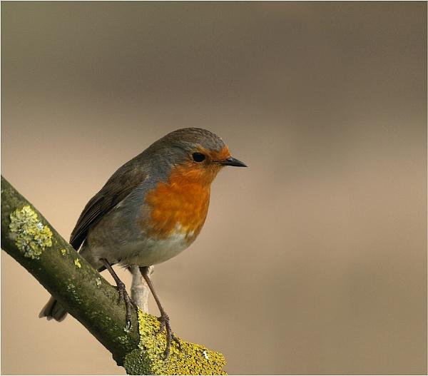 Perky Robin by ringyneck