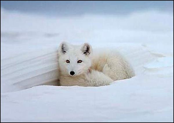 Arctic Fox by Bertadd