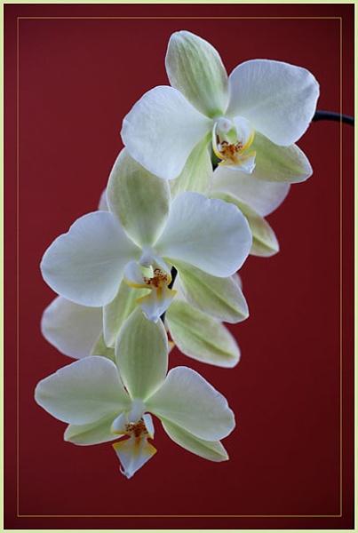Phalaenopsis by DERIC