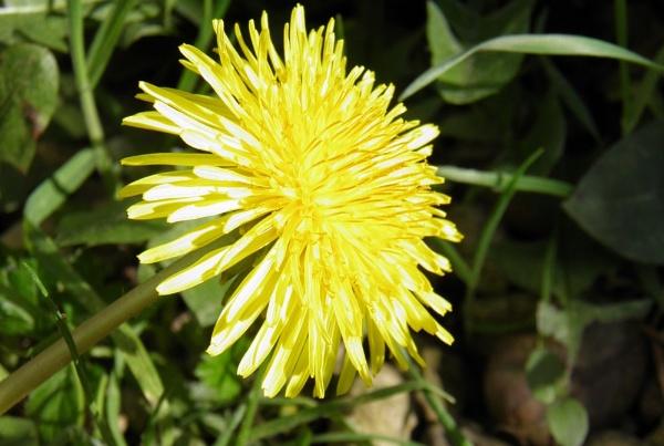Dandelion by brightspark