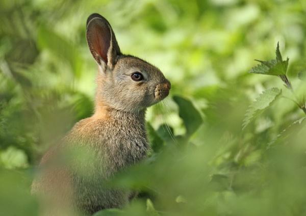 Bunny by SurreyHillsMan