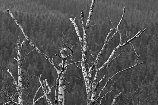 Birch Skeletons by WinFred