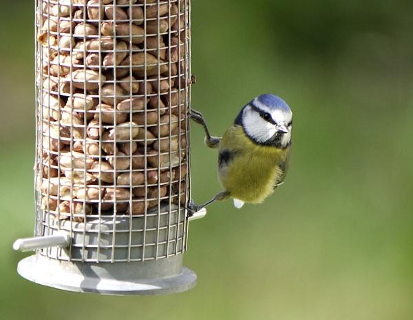 Blue Tit on feeder by Willmer