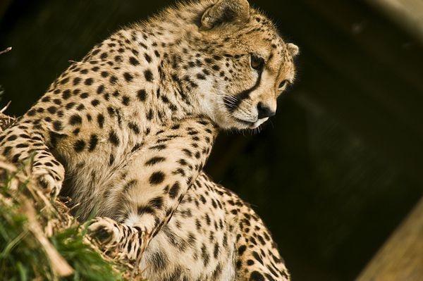 Cheetah by Peter23