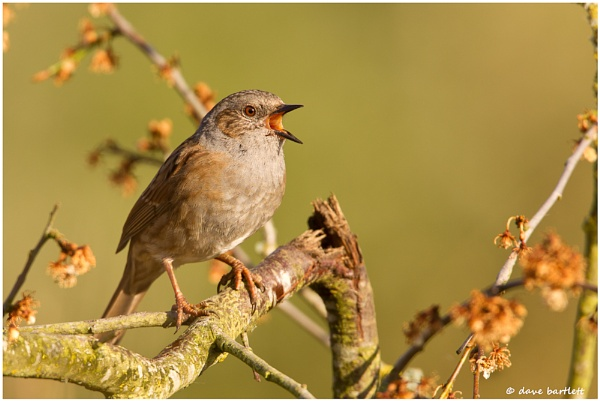 Dunnock in full voice by DaveBartlett