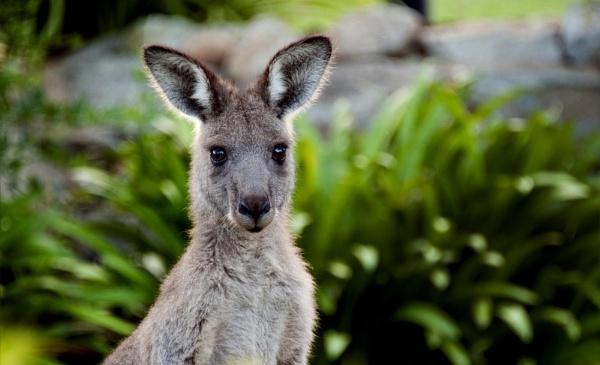 Kangeroo by redpuma