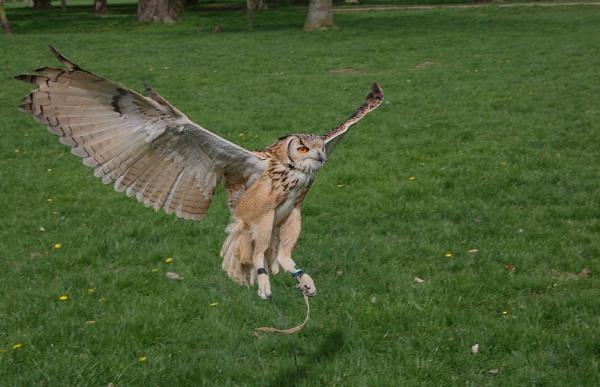 European Eagle Owl by CraigSev