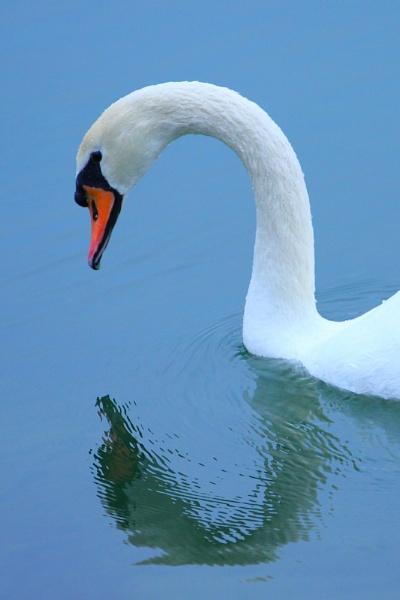 Mute Swan by AneesKarakkad