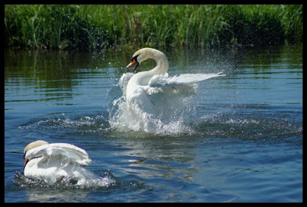 splash swan by alianar