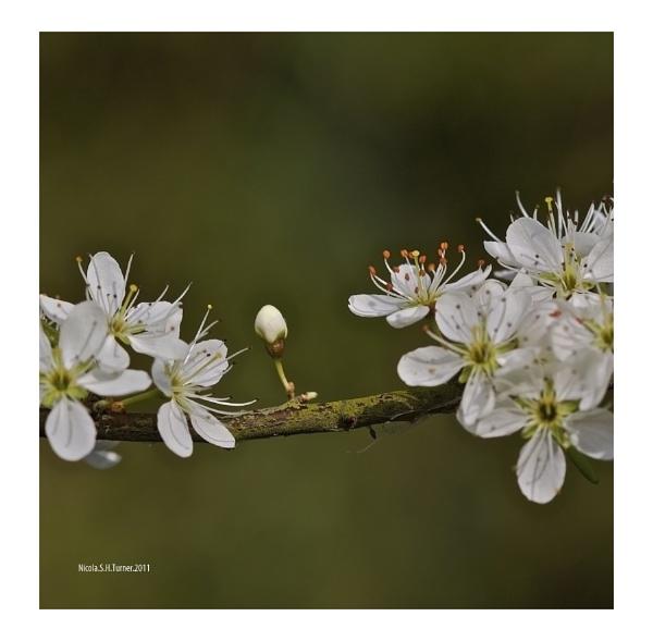 Hawthorn Bud. by soulofharmony