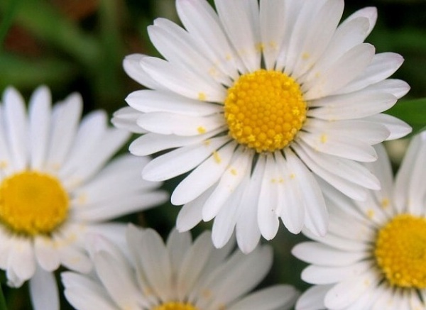 Fresh Daisies by jessikerr