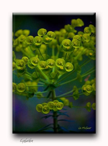 Euphorbia by LizMutimer