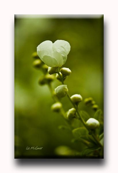 Blossom by LizMutimer
