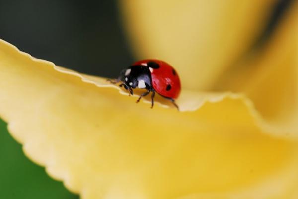 Ladybird by sallybea