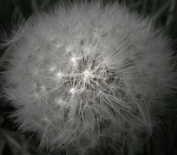 Lone Dandelion Clock by Rach_s