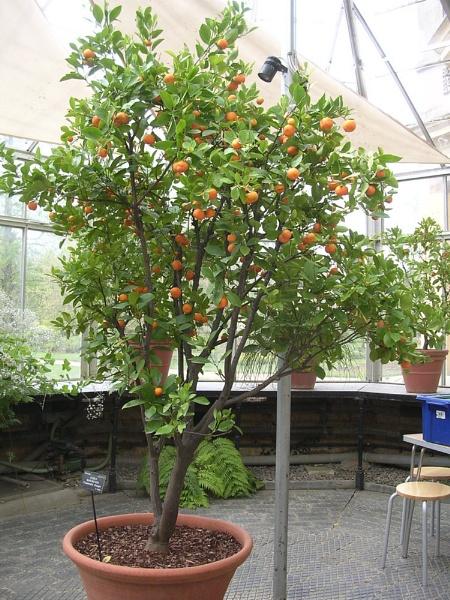 Citrus Orange tree by cageymac