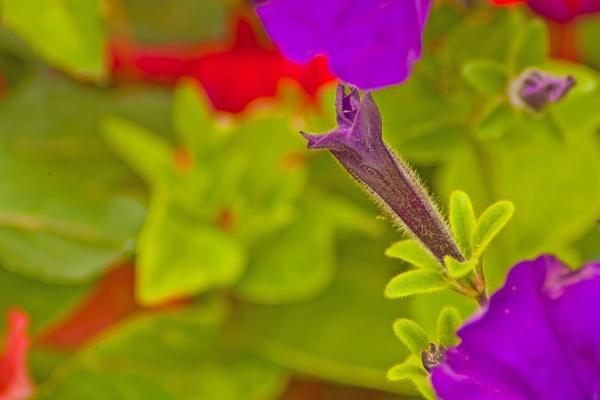 Petunia by shuto