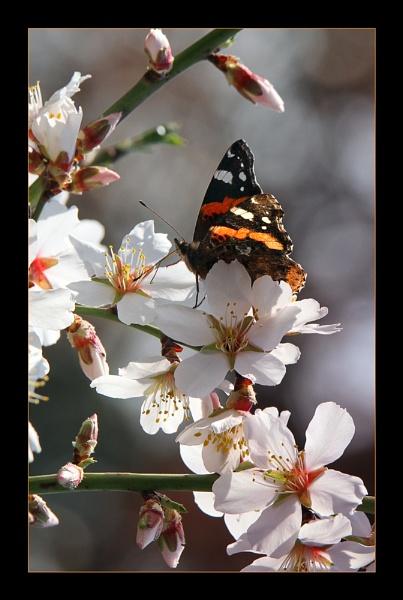 Spring Admiral by celestun