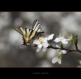 Scarce Spring