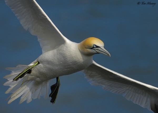 Gannet Flyby by TimMunsey