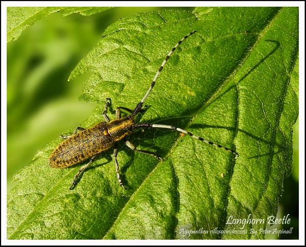 Longhorn Beetle by Scuttleatflordon