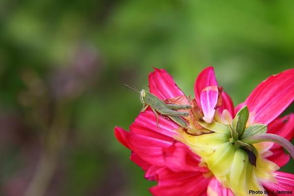 Grasshopper by JJamree